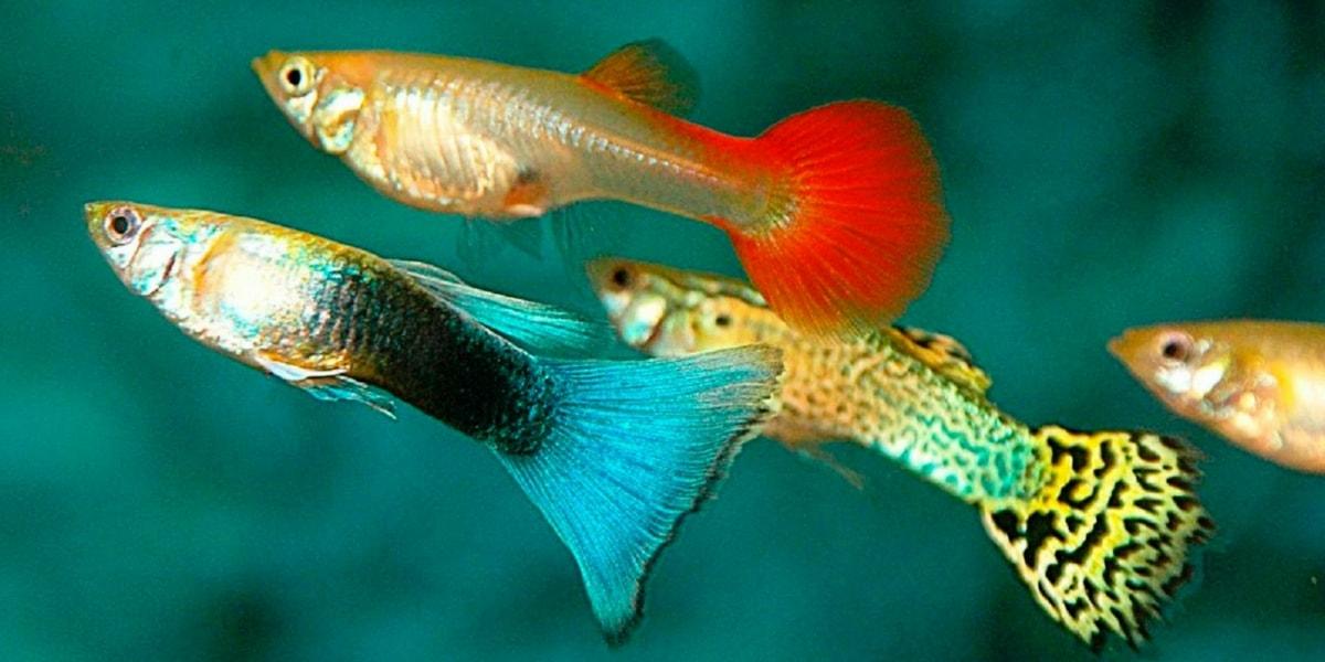 Lepistes Balığının Bilimsel Sınıflandırması