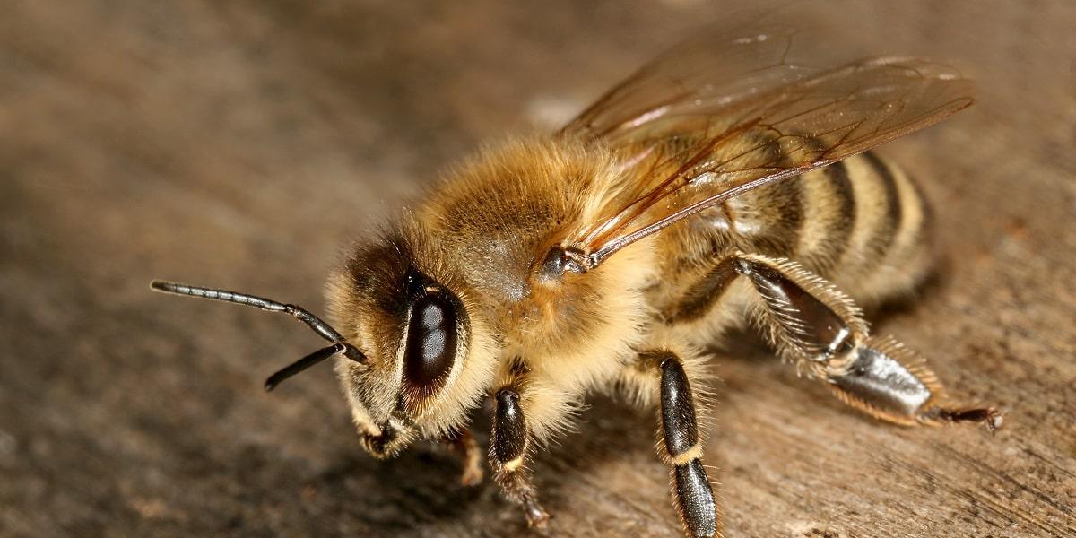 Arı Türleri Nelerdir?