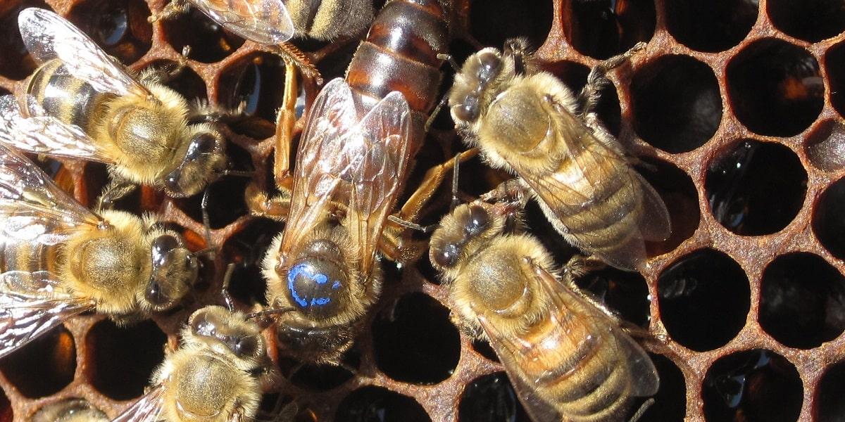 Arılar Kendi İçlerinde Nasıl Sınıflandırılırlar?