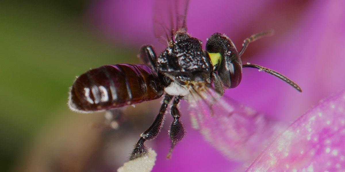 Arıların Bilimsel Sınıflandırılması
