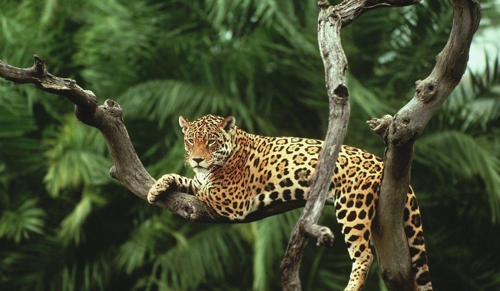 Jaguarlar Hakkında Bilgi; Jaguar Nedir? Özellikleri Nelerdir?