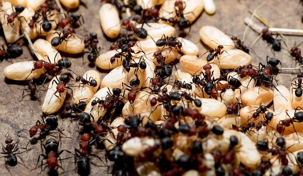 Karıncalar Hakkında Bilgi; Karınca Nedir? Özellikleri Nelerdir?