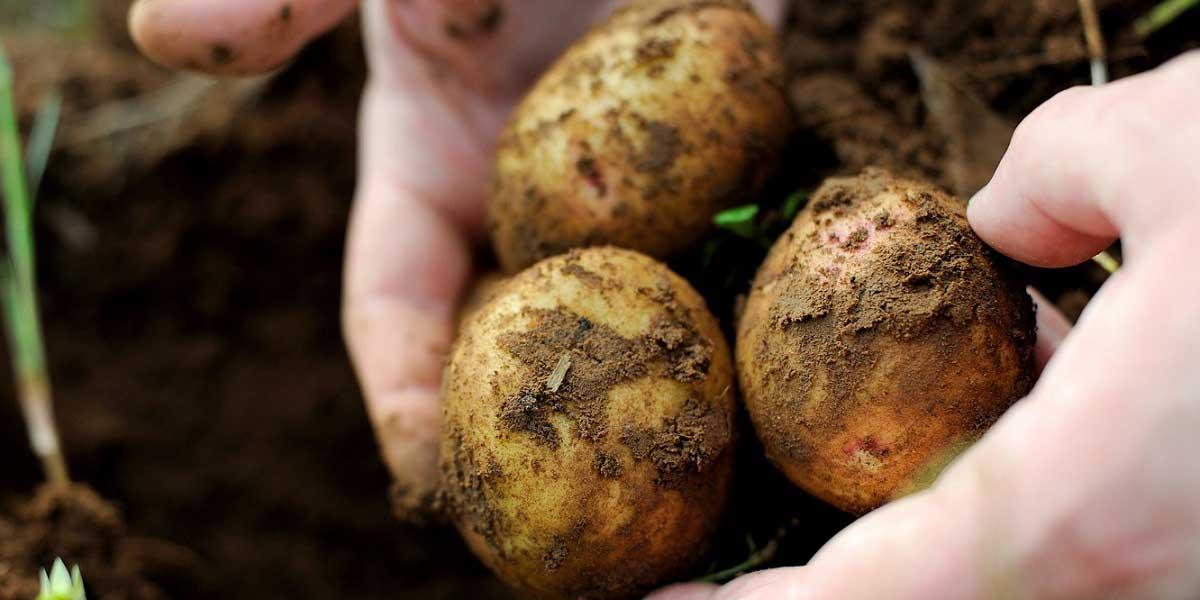 Patates Çeşitleri Nelerdir?