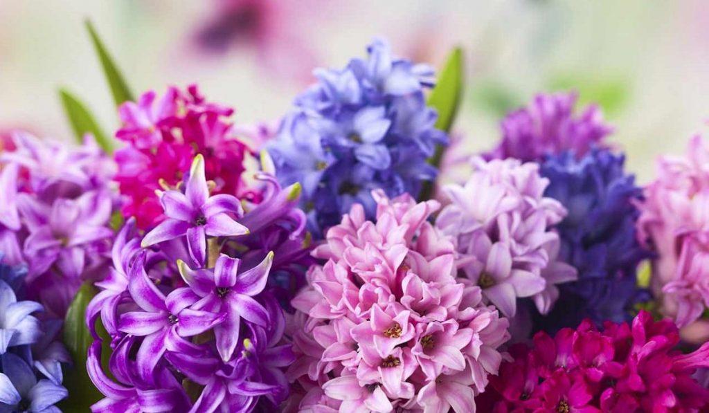 Sümbül Bitkisi: Çiçeği Nasıl Yetiştirilir? Bakımı Nasıldır?