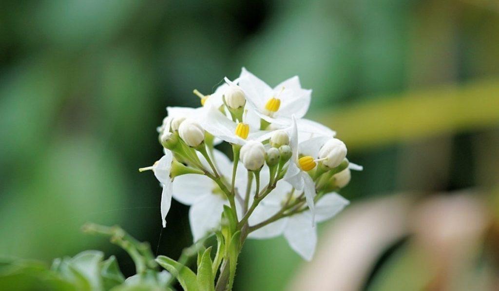 Yasemin Bitkisi: Çiçeği Nasıl Yetiştirilir? Bakımı Nasıldır?